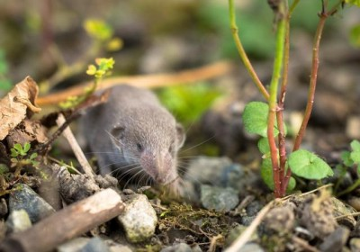 Elegant Water Shrew found for the first time in Uttarakhand Himalayas