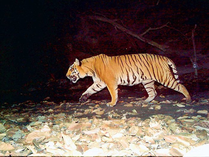 Rajaji National Park sees a rise in Tiger Population, Tigers may have doubled this year
