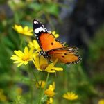 No recent record of 51 Himalayan butterfly species, zoologists fear extinction